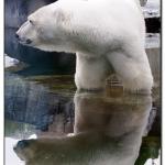 eisbaer-spiegelbild